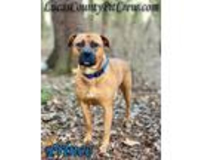 Adopt Prince a Red/Golden/Orange/Chestnut American Pit Bull Terrier / American