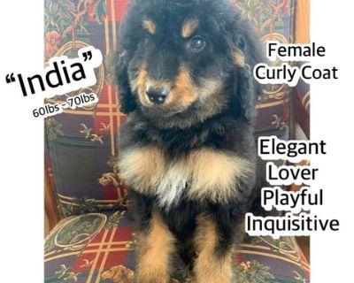 F1b Golden Bernedoodles