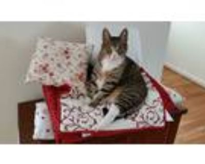 Adopt Lance a Gray, Blue or Silver Tabby American Shorthair / Mixed (short coat)