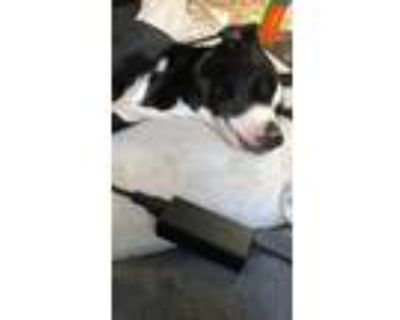 Adopt Molly a Black - with White American Pit Bull Terrier / Australian Cattle
