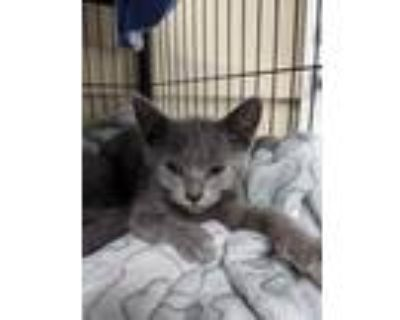 Adopt Dune a Gray or Blue Domestic Shorthair / Domestic Shorthair / Mixed cat in