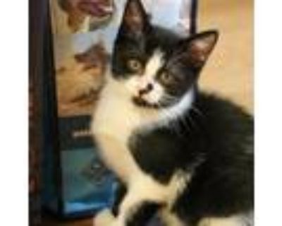 Adopt CT Bobble Avail July 31 a All Black Domestic Shorthair / Mixed cat in
