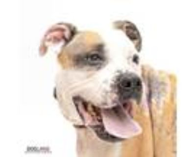 Adopt Doizer a Brown/Chocolate Boxer / Mixed dog in Noblesville, IN (31501817)