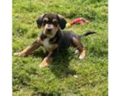 Adopt Loki a Beagle, Hound