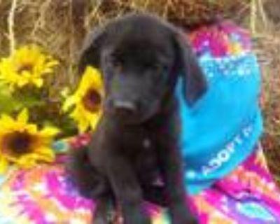 Adopt Chase- Adoption Pending! a Labrador Retriever, Cattle Dog