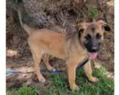 Adopt THOMPSON a Belgian Shepherd / Malinois