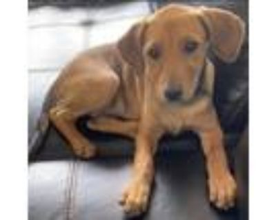 Adopt Yahtzee Girl - Game litter of 8 a Hound (Unknown Type) / Labrador