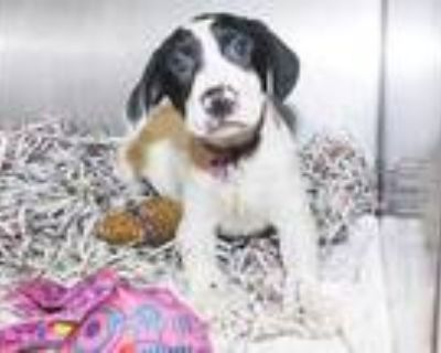 Adopt TURQUOISE a White - with Black Labrador Retriever / Mixed dog in St.