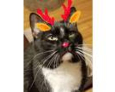 Adopt Oliver (formerly called Marshall) a Tuxedo, Domestic Short Hair