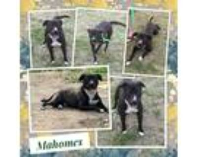 Adopt Mahomes a Black - with White Pit Bull Terrier / Mixed dog in El Dorado