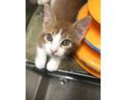 Adopt Samson a Orange or Red Domestic Shorthair / Domestic Shorthair / Mixed cat