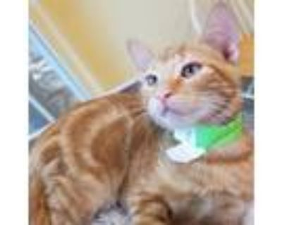 Adopt Cillian a Orange or Red Domestic Shorthair / Mixed cat in Folsom