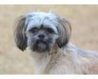 Adopt Shaggy a Tan/Yellow/Fawn Shih Tzu / Lhasa Apso dog in Milton