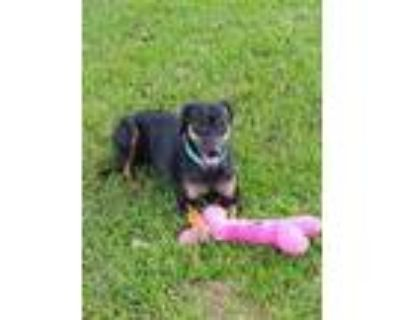 Adopt Mia a Black Doberman Pinscher / Mixed dog in Fort Worth, TX (31933964)