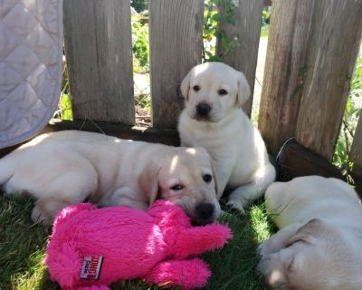 labrador puppies bred for famiy field and performance