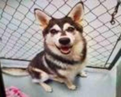 Adopt RASHA a Husky