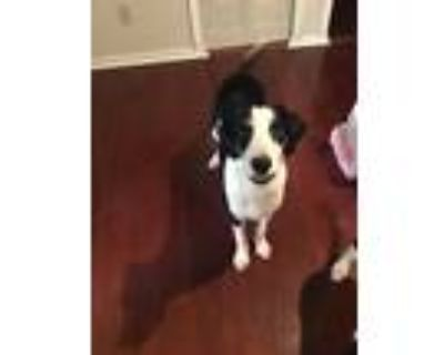 Adopt Roxy a Black - with White Hound (Unknown Type) / Mixed dog in Stone