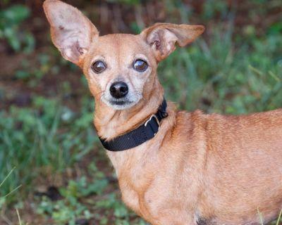 Pamela 11184 - Chihuahua/Dachshund - Adult Female