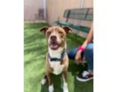 Adopt Juelz a American Staffordshire Terrier