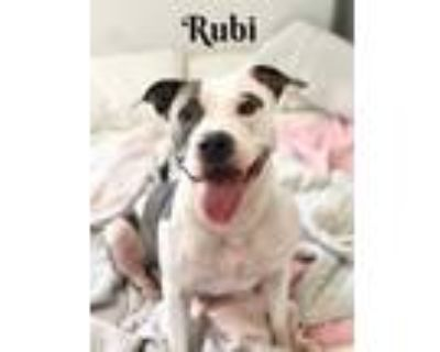 Adopt Rubi a Gray/Silver/Salt & Pepper - with White American Pit Bull Terrier /