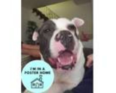 Adopt Zoomba a Gray/Blue/Silver/Salt & Pepper American Pit Bull Terrier / Mixed