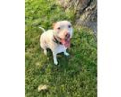 Adopt Remy a White - with Tan, Yellow or Fawn American Pit Bull Terrier / Spitz