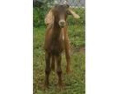 Adopt Pogo a Goat