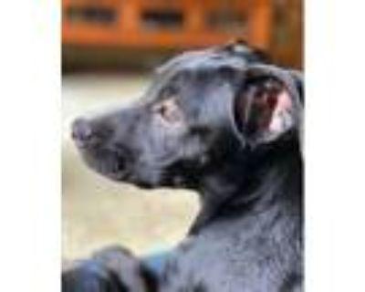 Adopt Bl Lab/Border Collie Pups F a Black Labrador Retriever, Border Collie