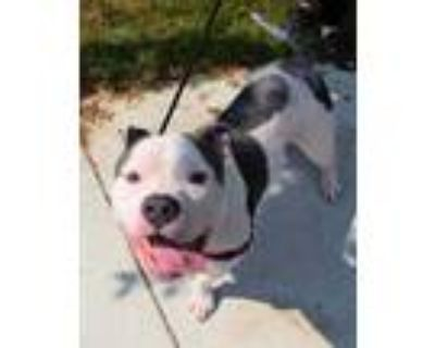Adopt Keelo a White American Pit Bull Terrier / Mixed dog in Williamsburg