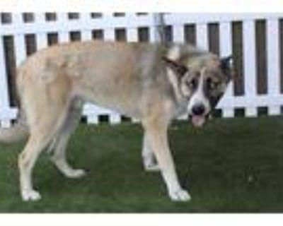 Adopt *ELIJAH a Tan/Yellow/Fawn - with White Husky / German Shepherd Dog / Mixed