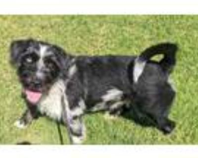 Adopt SIR BORGE* a Black - with White Australian Cattle Dog / Terrier (Unknown