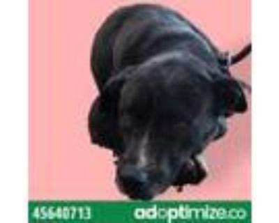Adopt Toral a Black Labrador Retriever / Mixed dog in El Paso, TX (31611520)