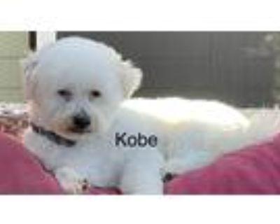Adopt Kobe a White Bichon Frise / Shih Tzu / Mixed dog in Modesto, CA (30654787)