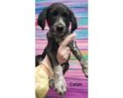 Adopt Catan a Black - with White Blue Heeler / Catahoula Leopard Dog dog in