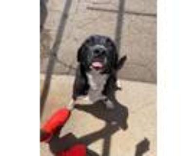 Adopt Bailey a Black - with White Labrador Retriever / Mixed dog in Albuquerque