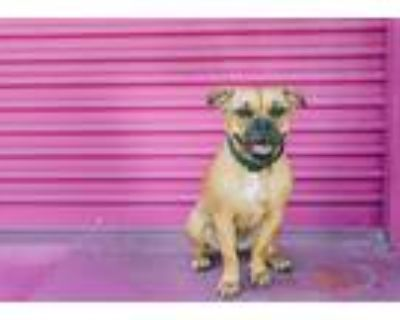 Adopt Maple a Brown/Chocolate Pit Bull Terrier / Boxer / Mixed dog in Woodland