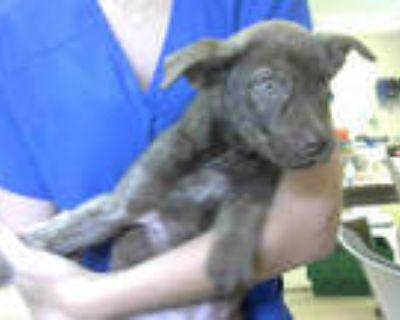 Adopt FINN a Brown/Chocolate Labrador Retriever / Mixed dog in Atlanta