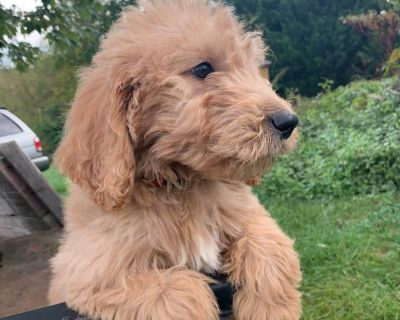 Goldendoodle Male Puppy