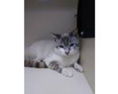 Adopt Fayette a Domestic Shorthair / Mixed (short coat) cat in Portsmouth