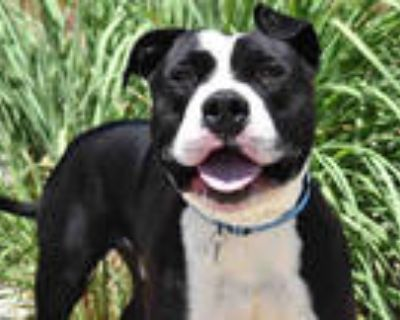 Adopt LL DROOL J a Black - with White American Pit Bull Terrier / Mixed dog in