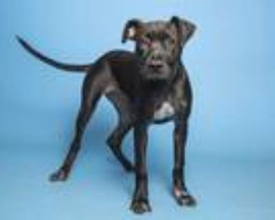 Adopt BAKED POTATO a Black American Pit Bull Terrier / Mixed dog in Phoenix