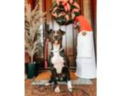 Adopt Chevelle a Black - with White Labrador Retriever / Hound (Unknown Type) /