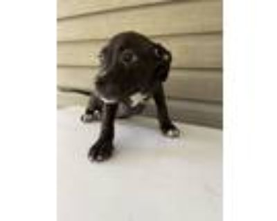 Adopt Sweet Sally a American Bully, Pit Bull Terrier