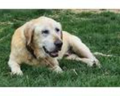 Charlie- Foster To Adopt, Labrador Retriever For Adoption In Wood Dale, Illinois