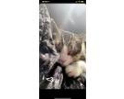Adopt Kat a Tiger Striped American Shorthair / Mixed (medium coat) cat in