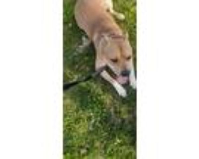 Adopt Sylis a Tan/Yellow/Fawn American Pit Bull Terrier / Mixed dog in Stowe