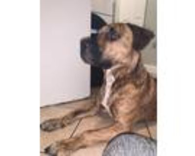 Adopt Ace a Brindle American Pit Bull Terrier / American Pit Bull Terrier /
