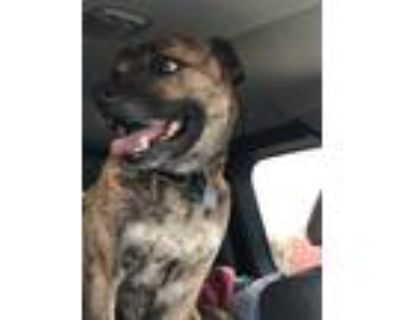 Adopt Keene a Brindle Mountain Cur / Mixed dog in Westminster, CO (31848845)