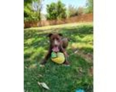 Adopt Churro a Brown/Chocolate - with White American Pit Bull Terrier / Boxer /