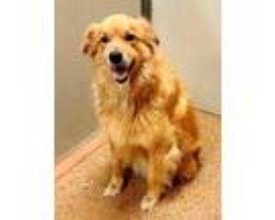 Adopt Topo Chico a Red/Golden/Orange/Chestnut Golden Retriever / Mixed dog in